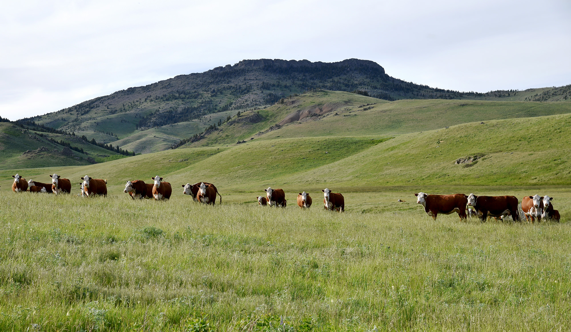 Montana Cattle Ranch For Sale: Strand Ranch | Swan Land Company