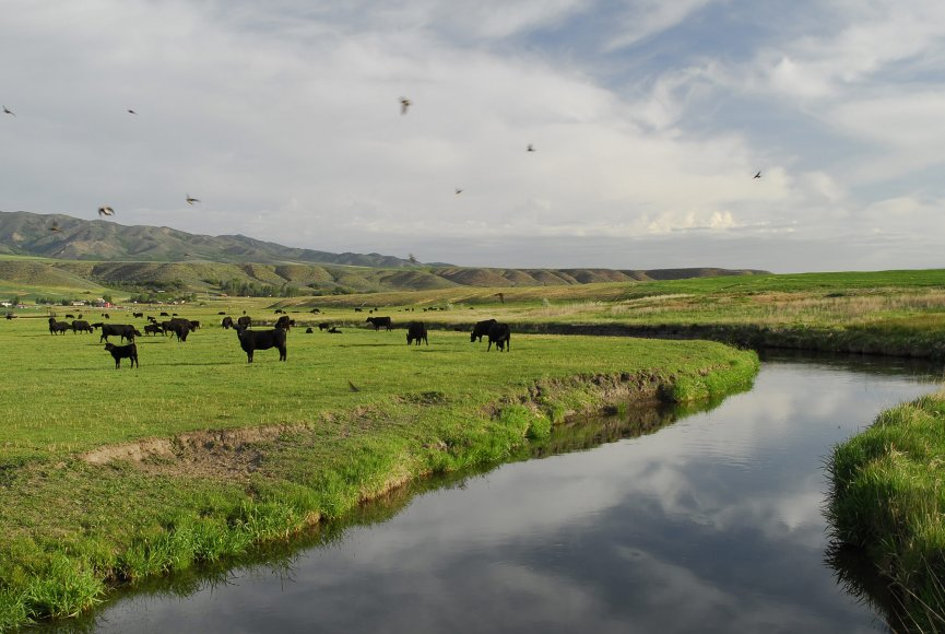 Cattle enjoying then Idaho ranch for sale
