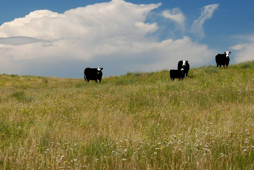 Cows grazing on this beautiful Montana ranch for sale