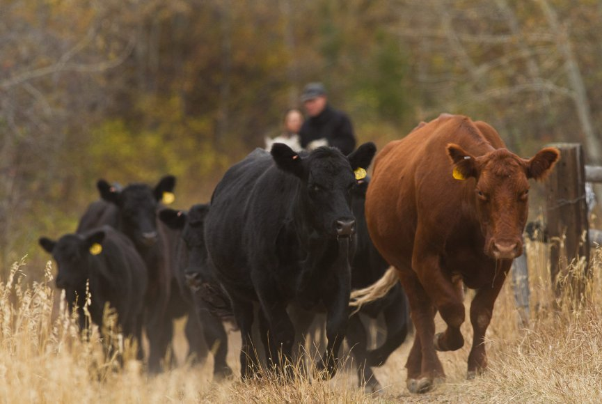 Driving the cattle on this Montana ranch for sale
