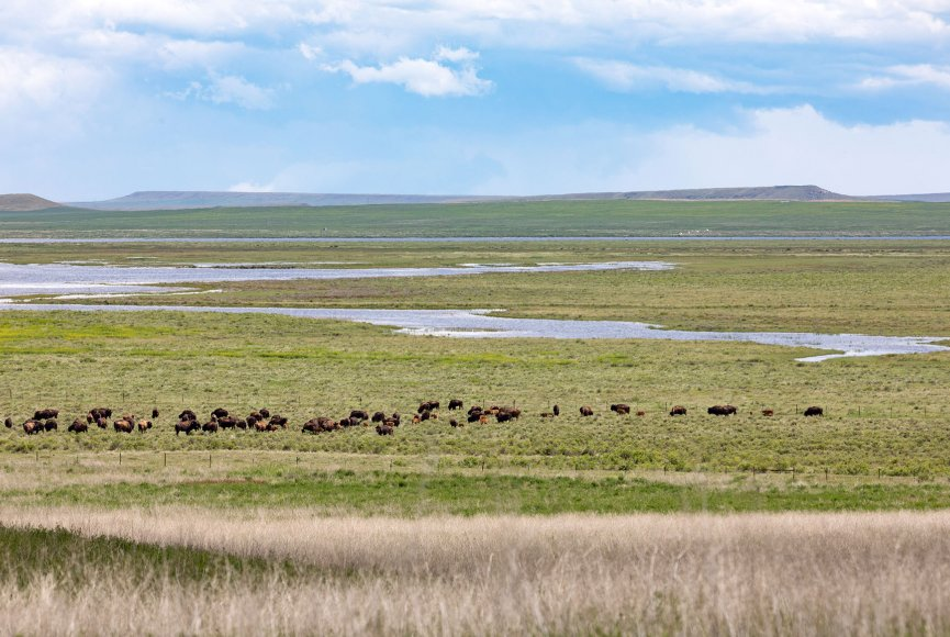 Bison ranch for sale in Montana is a beautiful sight