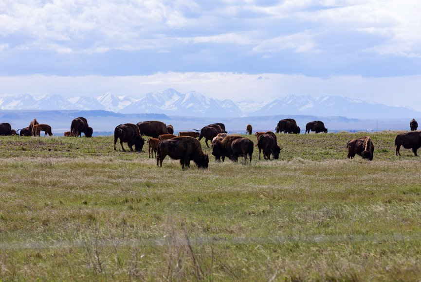 Montana ranch for sale has bison on it