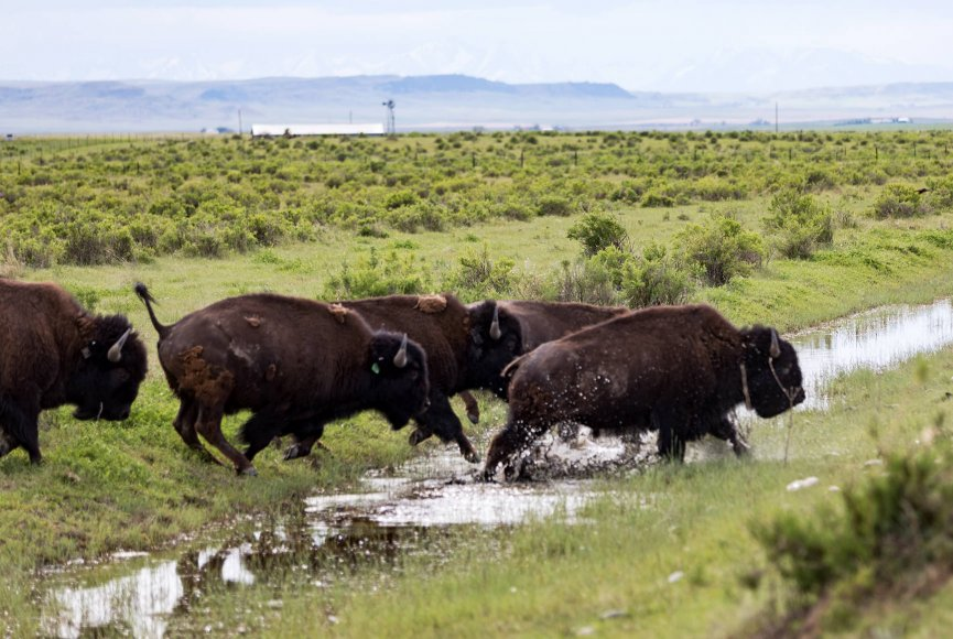 Bison over the water on this Montana Ranch for sale