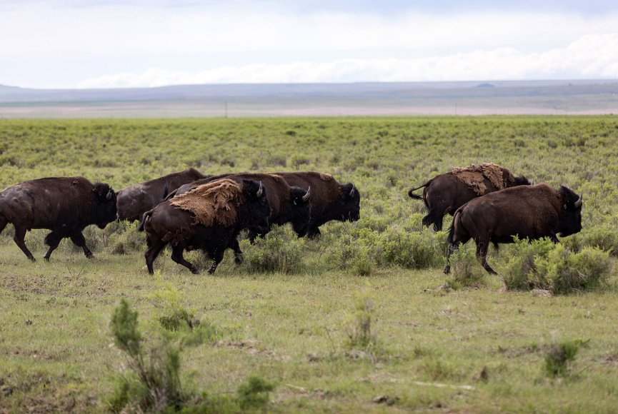 Photogenic Bison on this Montana ranch for sale