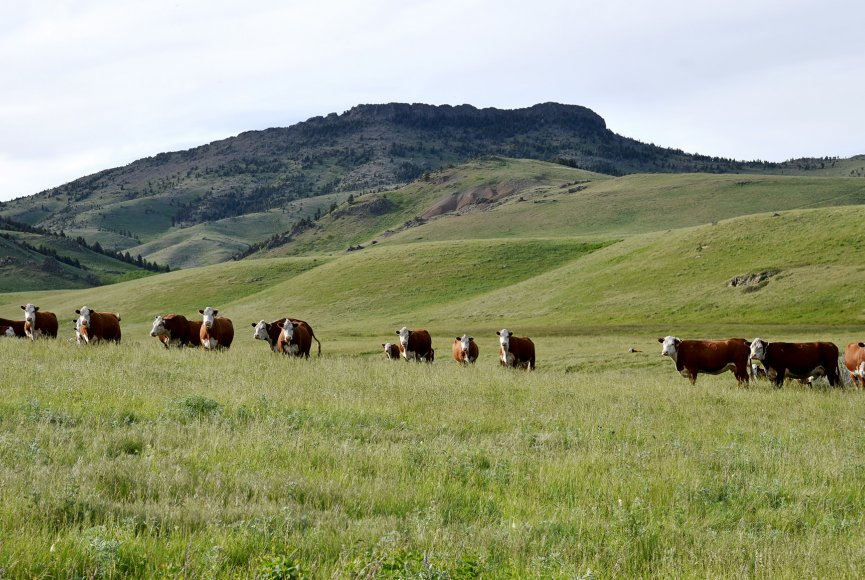 A great home for cattle on this Montana Ranch for sale