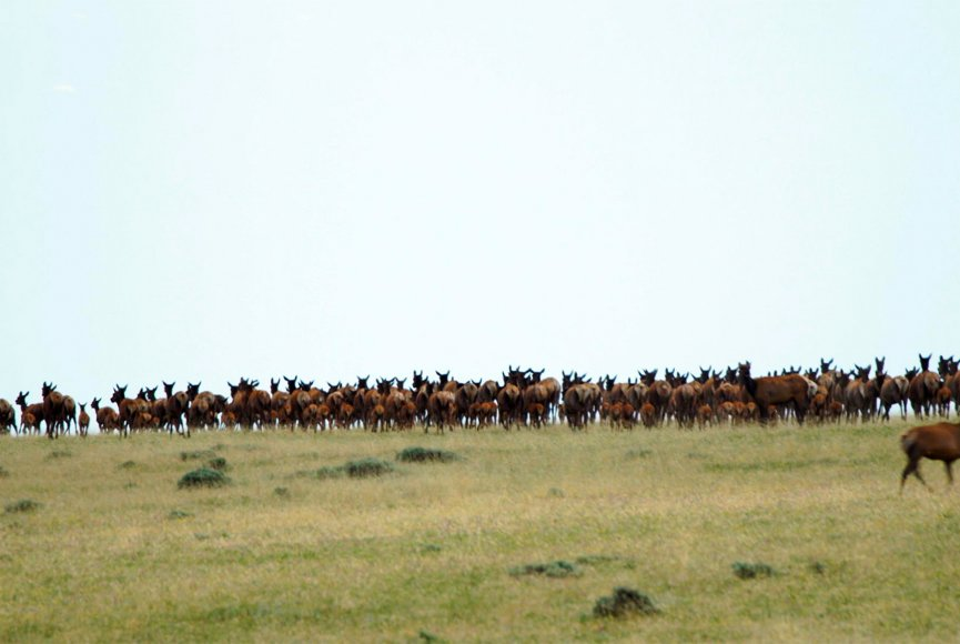 Large elk herd on this Montana ranch for sale