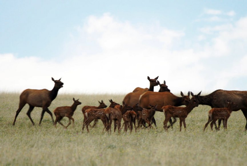 Many baby elk on this Montana ranch for sale