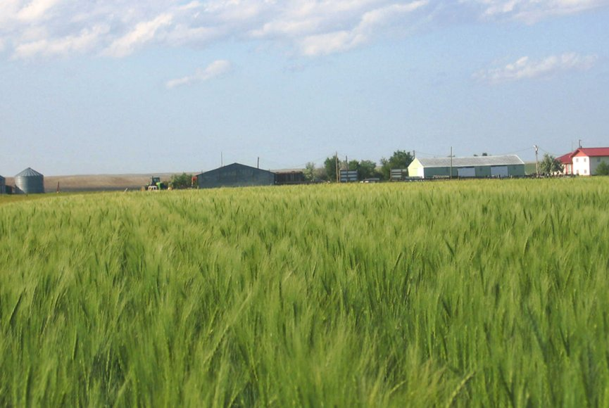 Healthy crops swaying in the breeze on this Montana land for sale