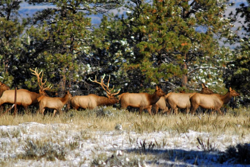 elk herd at attention on this montana property for sale